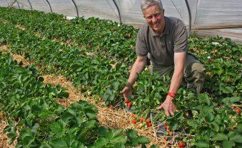 Auf den Feldern des Obsthof Mertens beginnt die Erdbeerzeit