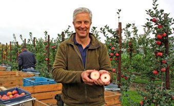 Neue Apfelsorte in der Ernte