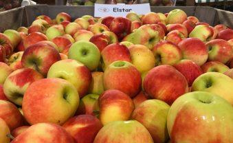 Leckere Äpfel in die Martins-Tüte
