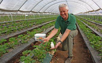 Nützliche Helfer – biologischer Pflanzenschutz in den Erdbeertunneln