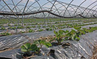 Erdbeer-Ernte 2020: Vorbereitungen haben begonnen
