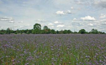 Bienenweide blüht – Nahrung für Insekten