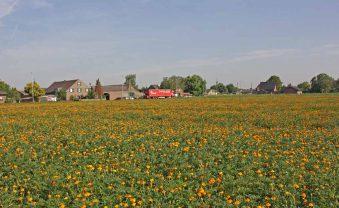 Schön und nützlich: Studentenblumen reinigen Boden der Erdbeerfelder