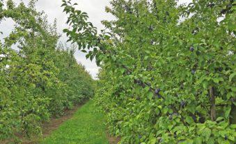 Pflaumen-Plantage in voller Ernte